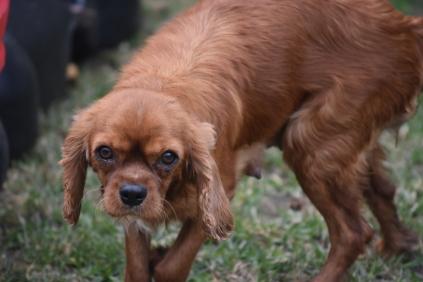 Nola-Cavalier-Banksia Park Puppies - 11 of 21
