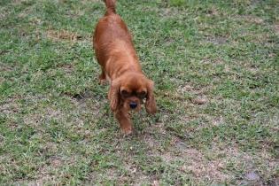 Nola-Cavalier-Banksia Park Puppies - 13 of 21
