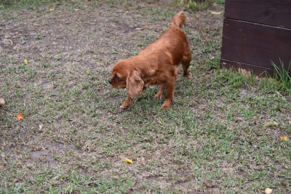 Nola-Cavalier-Banksia Park Puppies - 14 of 21