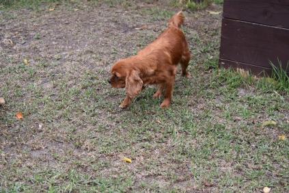 Nola-Cavalier-Banksia Park Puppies - 14 of 21