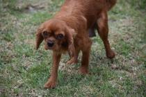 Nola-Cavalier-Banksia Park Puppies - 18 of 21