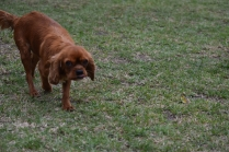Nola-Cavalier-Banksia Park Puppies - 19 of 21