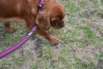 Nola-Cavalier-Banksia Park Puppies - 2 of 21