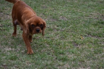 Nola-Cavalier-Banksia Park Puppies - 20 of 21