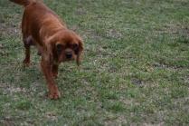 Nola-Cavalier-Banksia Park Puppies - 20 of 21