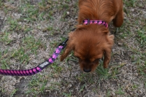 Nola-Cavalier-Banksia Park Puppies - 8 of 21