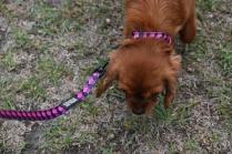 Nola-Cavalier-Banksia Park Puppies - 8 of 21