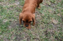 Nola-Cavalier-Banksia Park Puppies - 9 of 21