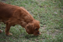 Pip-Cavalier-Banksia Park Puppies - 11 of 30