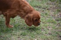 Pip-Cavalier-Banksia Park Puppies - 12 of 30