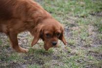 Pip-Cavalier-Banksia Park Puppies - 13 of 30