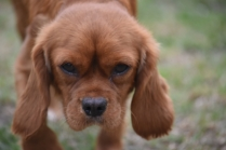 Pip-Cavalier-Banksia Park Puppies - 19 of 30