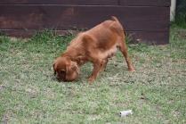 Pip-Cavalier-Banksia Park Puppies - 20 of 30