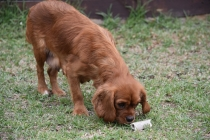 Pip-Cavalier-Banksia Park Puppies - 21 of 30