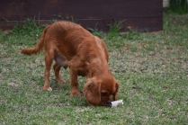 Pip-Cavalier-Banksia Park Puppies - 22 of 30