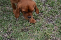 Pip-Cavalier-Banksia Park Puppies - 27 of 30