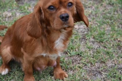 Pip-Cavalier-Banksia Park Puppies - 28 of 30