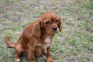 Pip-Cavalier-Banksia Park Puppies - 29 of 30