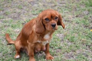 Pip-Cavalier-Banksia Park Puppies - 30 of 30
