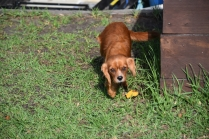 Vixen-Cavalier- Banksia Park Puppies - 14 of 44