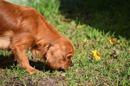 Vixen-Cavalier- Banksia Park Puppies - 17 of 44