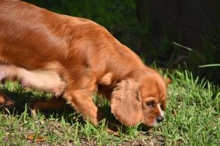 Vixen-Cavalier- Banksia Park Puppies - 19 of 44