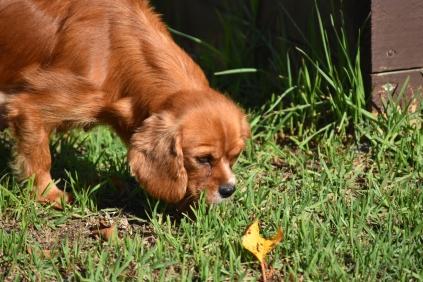 Vixen-Cavalier- Banksia Park Puppies - 20 of 44