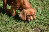 Vixen-Cavalier- Banksia Park Puppies - 22 of 44