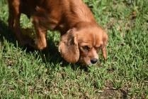 Vixen-Cavalier- Banksia Park Puppies - 22 of 44
