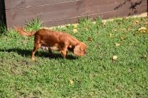 Vixen-Cavalier- Banksia Park Puppies - 23 of 44