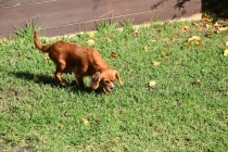 Vixen-Cavalier- Banksia Park Puppies - 24 of 44