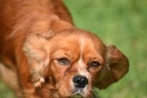 Vixen-Cavalier- Banksia Park Puppies - 28 of 44
