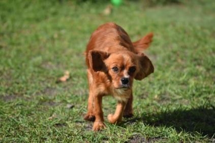 Vixen-Cavalier- Banksia Park Puppies - 3 of 44
