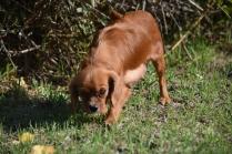 Vixen-Cavalier- Banksia Park Puppies - 30 of 44
