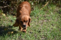 Vixen-Cavalier- Banksia Park Puppies - 31 of 44