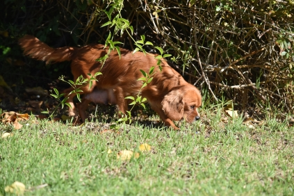 Vixen-Cavalier- Banksia Park Puppies - 34 of 44