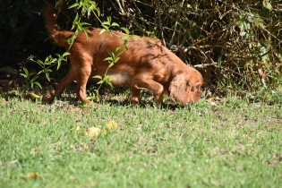 Vixen-Cavalier- Banksia Park Puppies - 35 of 44
