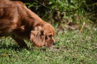 Vixen-Cavalier- Banksia Park Puppies - 37 of 44