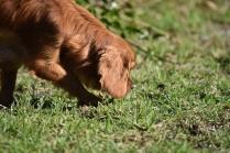 Vixen-Cavalier- Banksia Park Puppies - 39 of 44