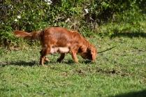 Vixen-Cavalier- Banksia Park Puppies - 40 of 44