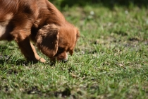 Vixen-Cavalier- Banksia Park Puppies - 41 of 44