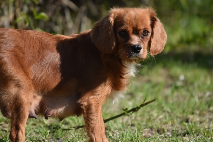 Vixen-Cavalier- Banksia Park Puppies - 42 of 44