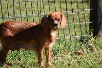 Vixen-Cavalier- Banksia Park Puppies - 8 of 44