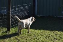 Comet-Labrador-Banksia Park Puppies - 16 of 43