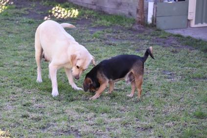 Comet-Labrador-Banksia Park Puppies - 18 of 43