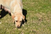 Comet-Labrador-Banksia Park Puppies - 34 of 43