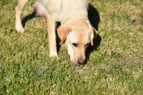 Comet-Labrador-Banksia Park Puppies - 35 of 43