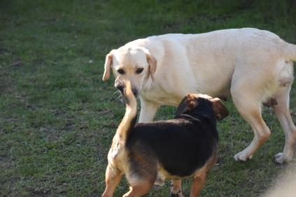 Comet-Labrador-Banksia Park Puppies - 40 of 43