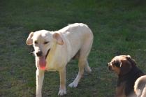 Comet-Labrador-Banksia Park Puppies - 42 of 43