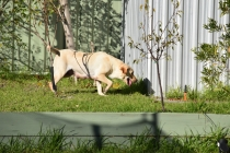 Comet-Labrador-Banksia Park Puppies - 7 of 43